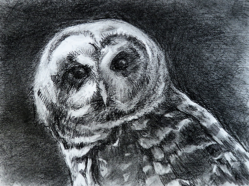 Barred Owl - graphite, ink